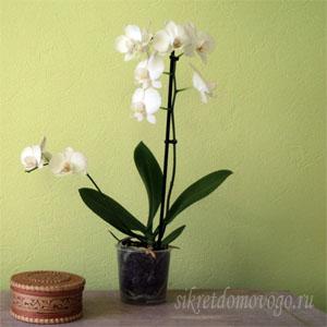 чудесная орхидея