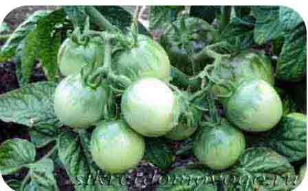 заготовки из зеленых помидор