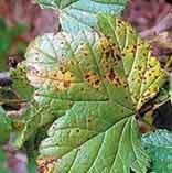 пораженные листья смородины