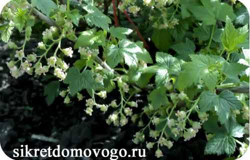 цветущая ветка смородины