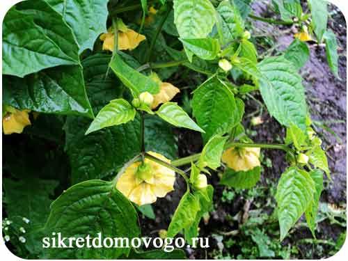 цветение физалиса овощного