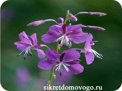 цветы иван-чая
