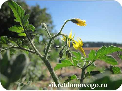 цветение томата