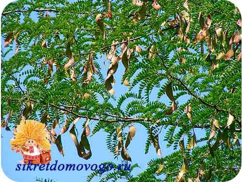 рожковое дерево с плодами