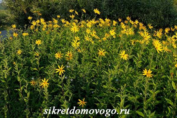 цветущий топинамбур
