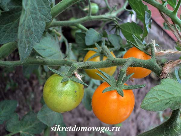 томат оранж