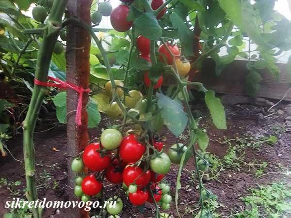 томат вишня красная