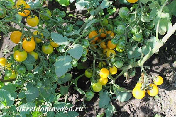 желтые томаты на улице