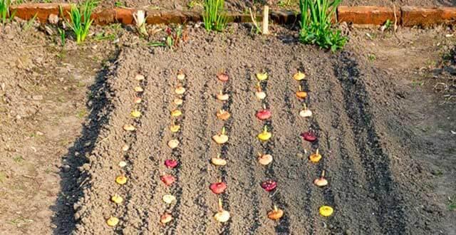 Посадка гладиолусов весной в открытый грунт