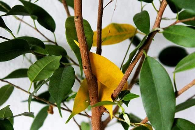 Желтые листья на фикусе