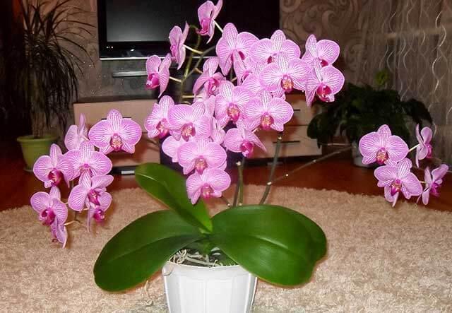 Орхидея на столе