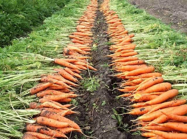 Когда убирать морковь на Урале