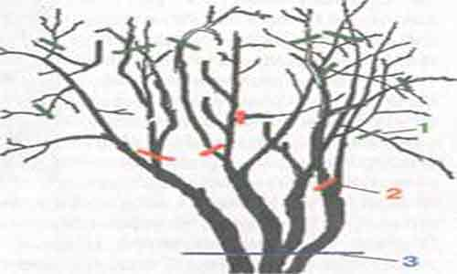 калина выращивание
