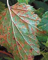 листья смородины, пораженные ржавчиной