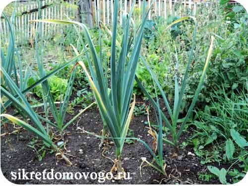 чеснок в огороде