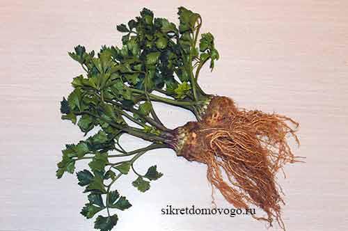 корневой сельдерей