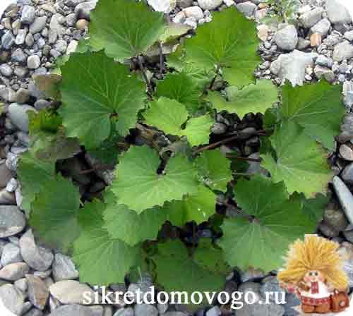 листья мать-и-мачехи