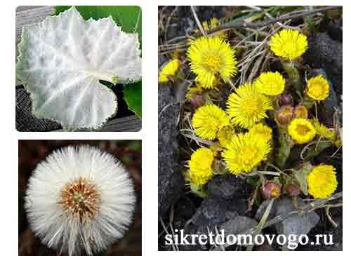 цветы мать-и- мачехи