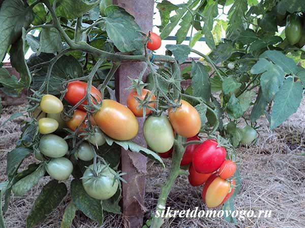 томаты на улице