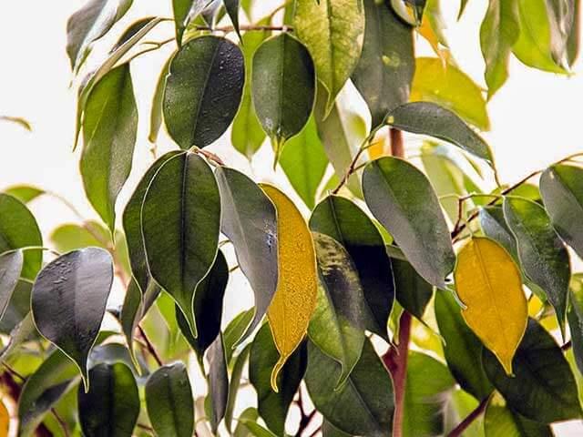 Желтые листья фикуса